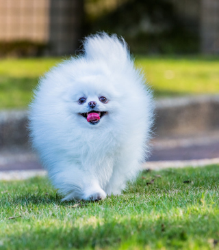 Free Pomeranian Picture for Nokia C7
