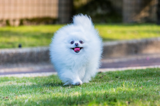Pomeranian Background for 640x480
