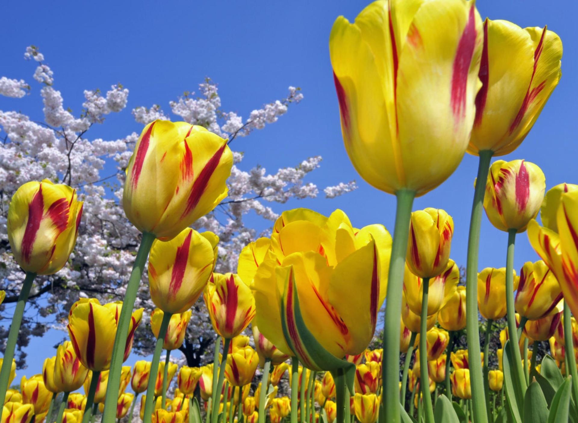 природа цветы тюльпаны желтые nature flowers tulips yellow скачать