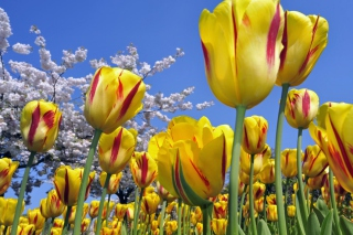 Spring Tulips sfondi gratuiti per cellulari Android, iPhone, iPad e desktop