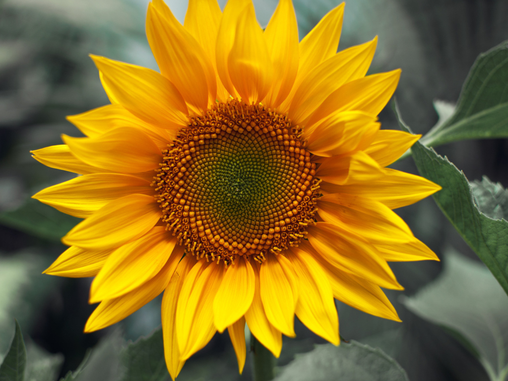 Sfondi Sunflower 1024x768