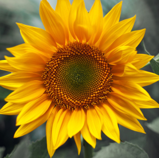 Sunflower sfondi gratuiti per iPad mini