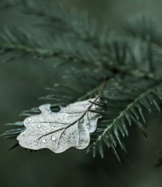 Spruce Branches And Leaf - Fondos de pantalla gratis para HTC Pure