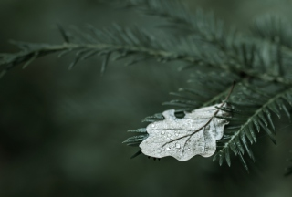 Spruce Branches And Leaf Wallpaper for Android 480x800