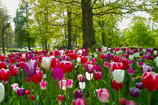 Free Field of Tulips Picture for Android, iPhone and iPad