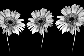 Gerbera Flowers Background for Android, iPhone and iPad