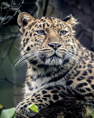 Free Leopard Picture for Nokia C-Series