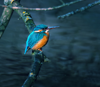 Kingfisher On Branch sfondi gratuiti per iPad mini