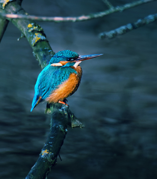 Free Kingfisher On Branch Picture for iPhone 6 Plus