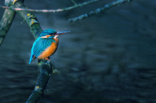 Free Kingfisher On Branch Picture for Android, iPhone and iPad