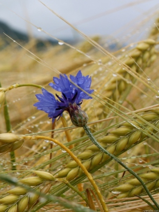 Wheat And Blue Flower - Fondos de pantalla gratis para 640x1136