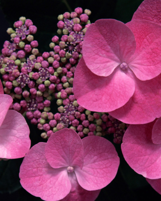 Pink Flowers Background for Nokia Asha 308