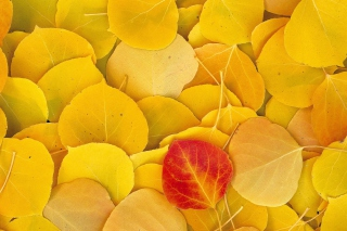Red Leaf On Yellow Leaves Wallpaper for Android, iPhone and iPad