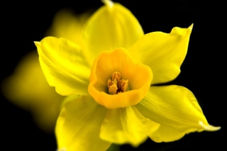 Yellow narcissus Picture for Android, iPhone and iPad