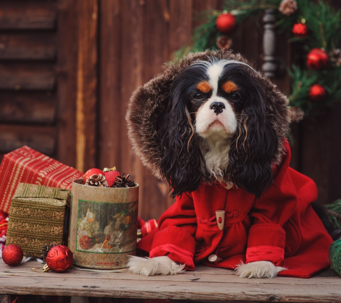 Dog Cavalier King Charles Spaniel in Christmas Costume wallpaper 1440x1280