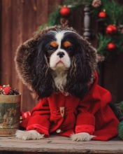 Dog Cavalier King Charles Spaniel in Christmas Costume wallpaper 176x220