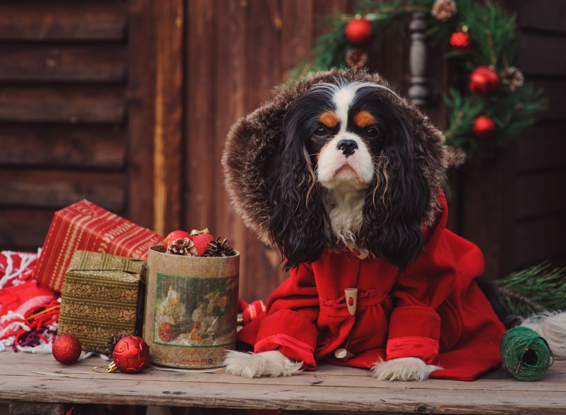 Dog Cavalier King Charles Spaniel in Christmas Costume wallpaper 1920x1408
