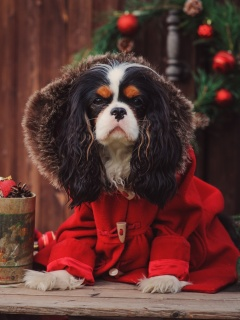 Dog Cavalier King Charles Spaniel in Christmas Costume wallpaper 240x320