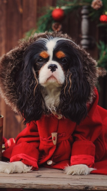Dog Cavalier King Charles Spaniel in Christmas Costume wallpaper 360x640