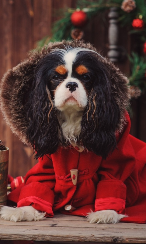 Dog Cavalier King Charles Spaniel in Christmas Costume wallpaper 480x800
