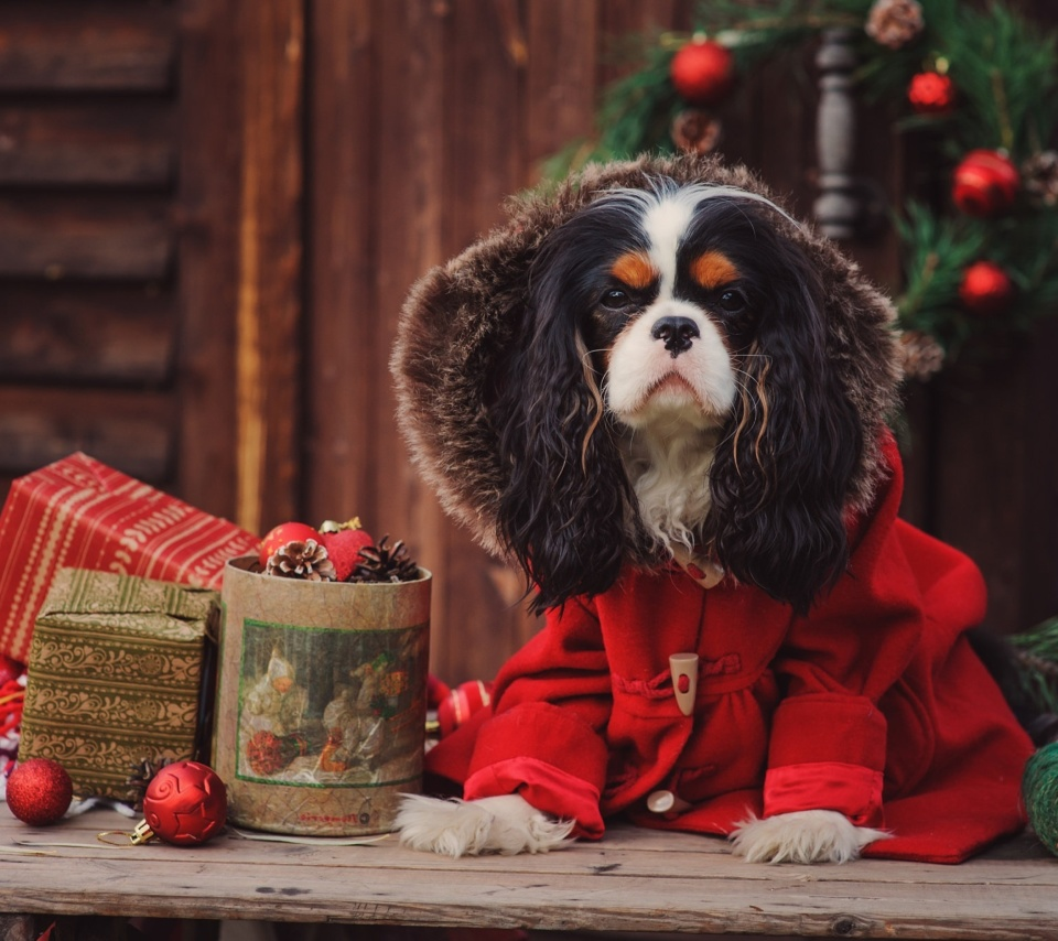 Dog Cavalier King Charles Spaniel in Christmas Costume wallpaper 960x854