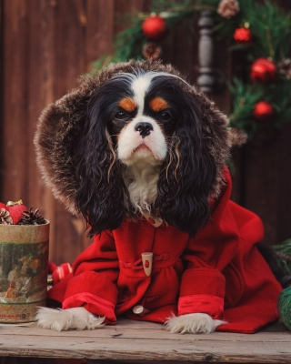Dog Cavalier King Charles Spaniel in Christmas Costume Background for Nokia C1-01