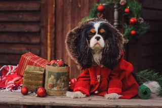 Dog Cavalier King Charles Spaniel in Christmas Costume Wallpaper for Android, iPhone and iPad