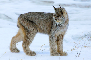 Free Canada Lynx Picture for Android, iPhone and iPad