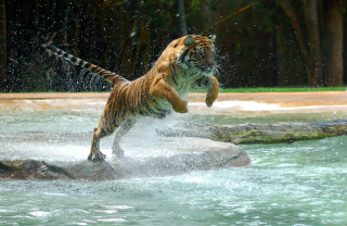 Powerful Animal Tiger sfondi gratuiti per cellulari Android, iPhone, iPad e desktop