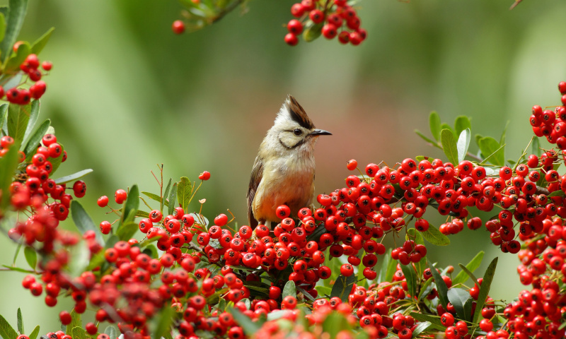 Screenshot №1 pro téma Bird in Pyracantha berries 800x480