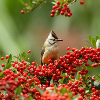 Free Bird in Pyracantha berries Picture for iPad mini 2