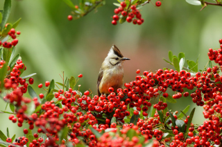 Bird in Pyracantha berries Background for Android, iPhone and iPad