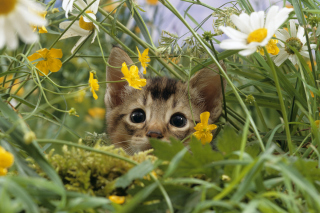Kitten Hiding Behind Yellow Flowers sfondi gratuiti per cellulari Android, iPhone, iPad e desktop