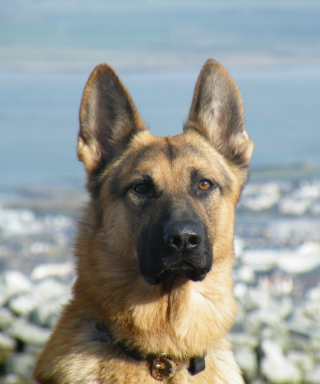 German Shepherd sfondi gratuiti per iPhone 4S