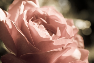 Peach Rose Picture for Android, iPhone and iPad