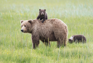 Bears In Lake Clark National Park, Alaska Picture for Android, iPhone and iPad