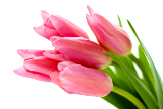 Pink tulips on white background sfondi gratuiti per cellulari Android, iPhone, iPad e desktop