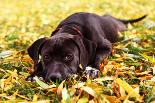 Autumn Dog Wallpaper for Android, iPhone and iPad