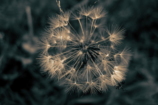 Dandelion Close Up sfondi gratuiti per cellulari Android, iPhone, iPad e desktop