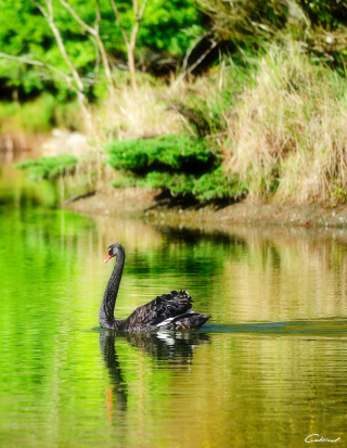 Black Swan Lake Picture for HTC Titan