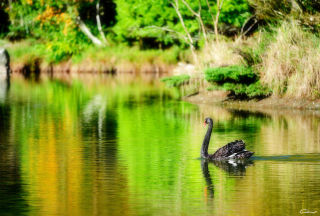 Free Black Swan Lake Picture for Android, iPhone and iPad