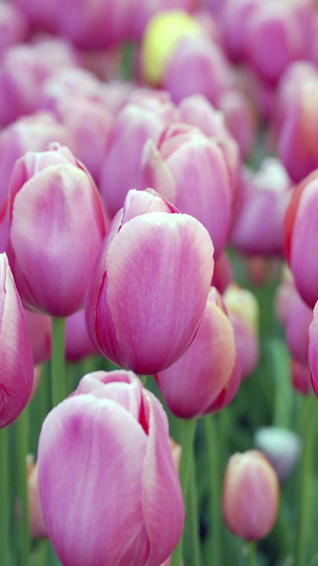 тюльпаны фото на айфон соответствующие данному