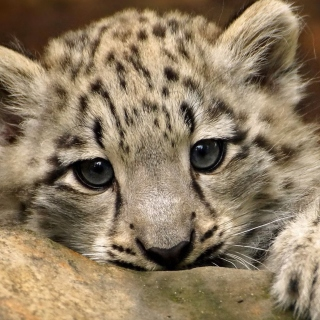 Free Small Snow Leopard HD Picture for iPad mini 2