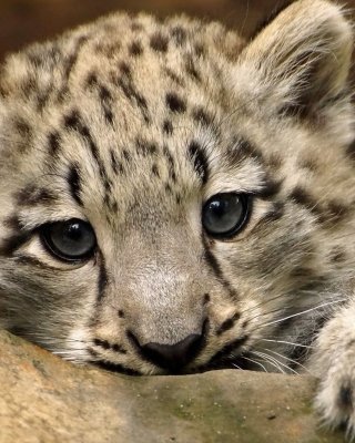Small Snow Leopard HD Wallpaper for Nokia C1-01