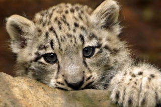 Small Snow Leopard HD Background for 1080x960