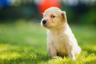 Cute Golden Retriever Puppy Background for Android, iPhone and iPad
