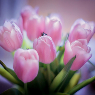 Tender Pink Tulips Wallpaper for iPad 3