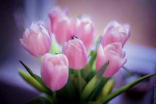 Tender Pink Tulips Background for Android, iPhone and iPad