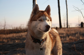 Free Beautiful Husky Dog Picture for Android, iPhone and iPad