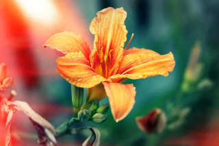Orange Lily Background for LG Optimus U
